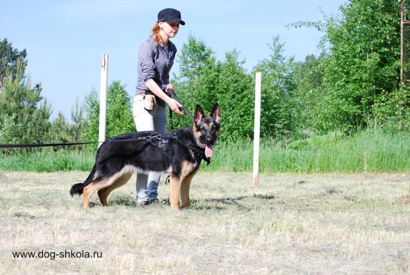 Восточно-европейская овчарка обучение