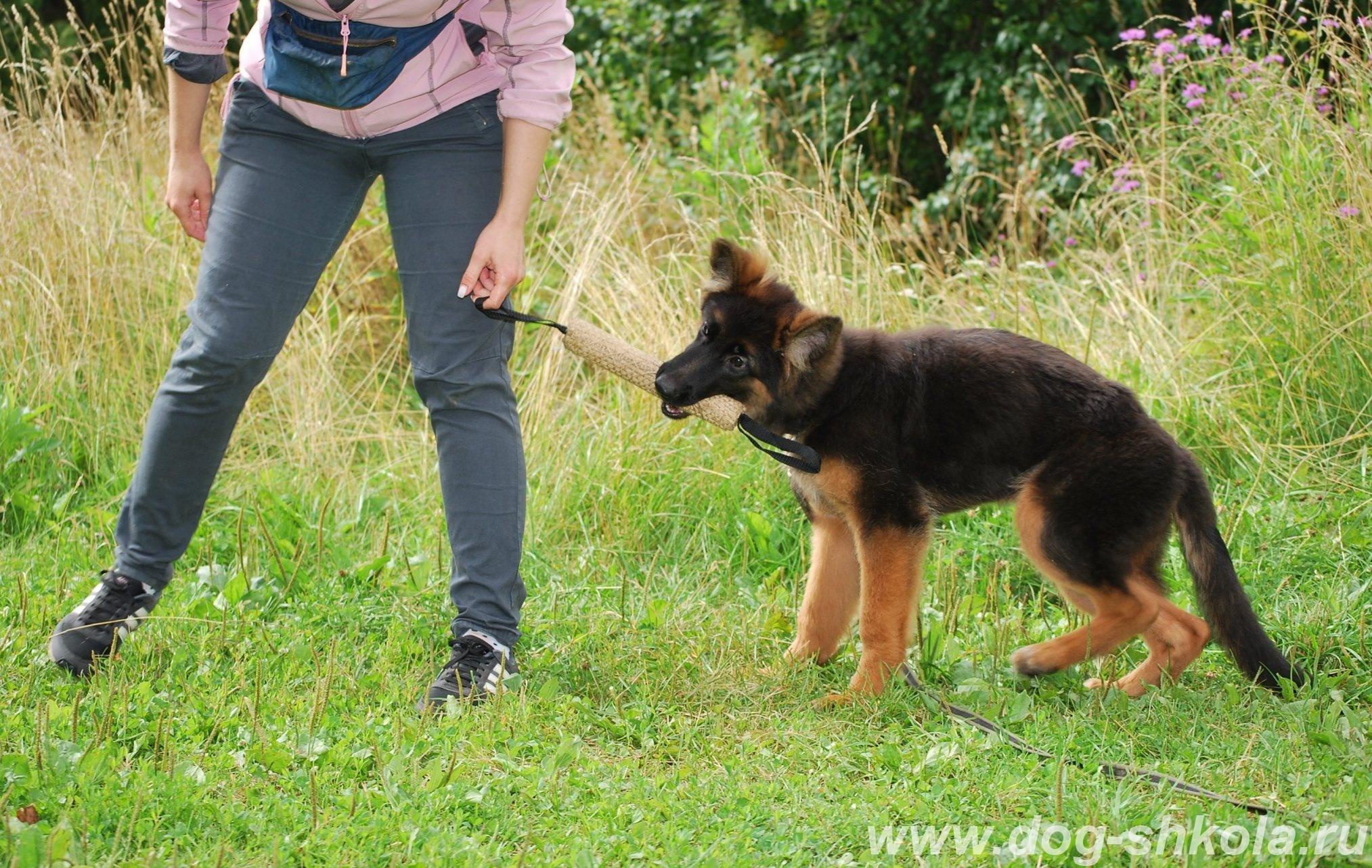Воспитание щенка немецкой овчарка