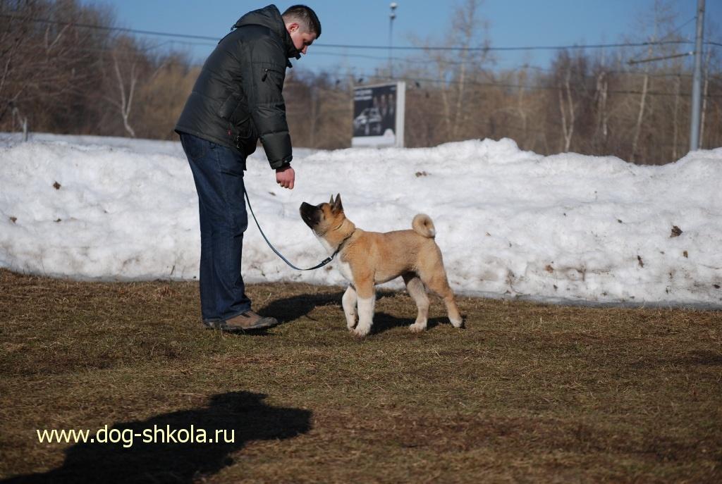 Дрессировка щенка Акита-ину