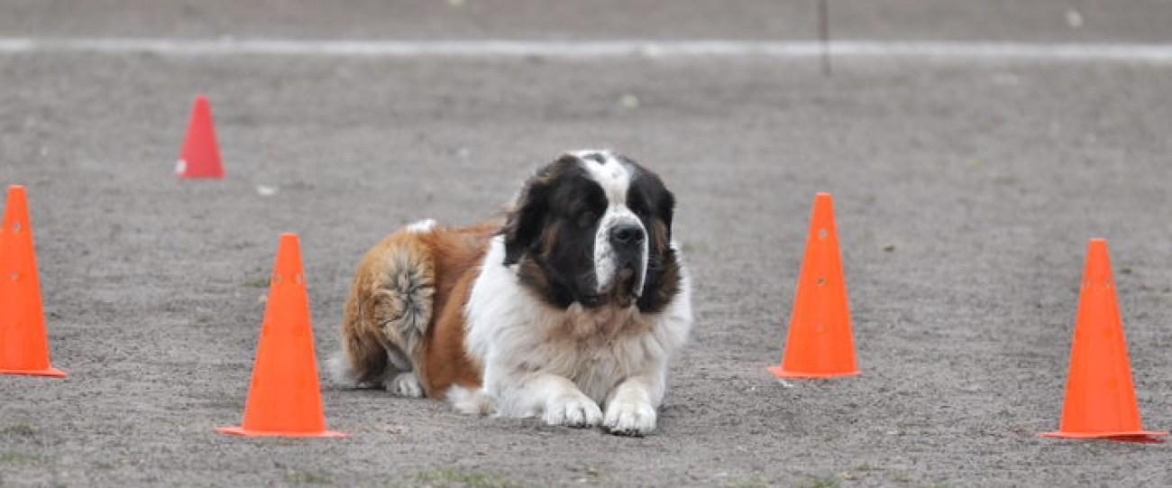 Норматив собака-компаньон