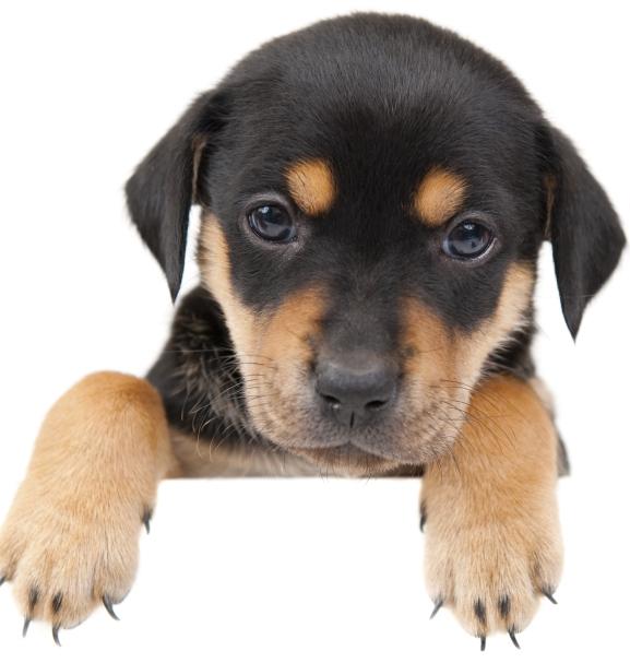 Воспитание щенка ротвейлера