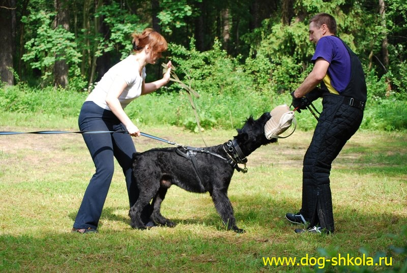 Дрессировка собак на защиту