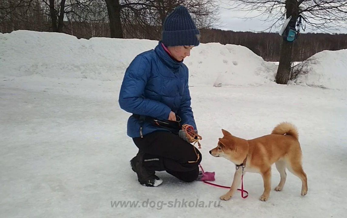 Сиба-ину щенка дрессировка