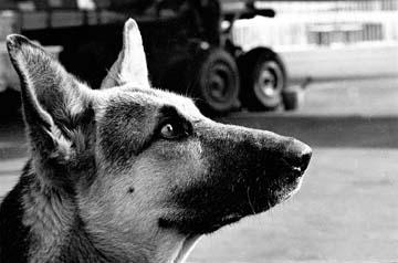 Преданность собаки