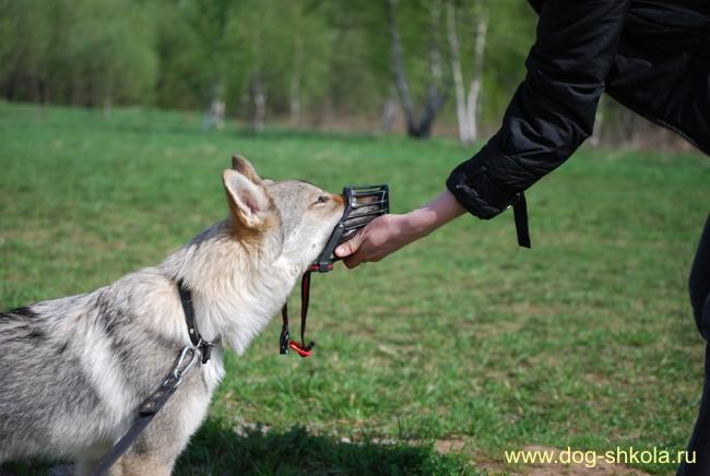 Чехословацкий влчак щенок