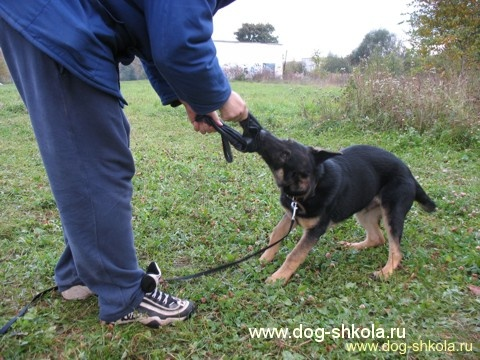 Немецкая овчарка щенки