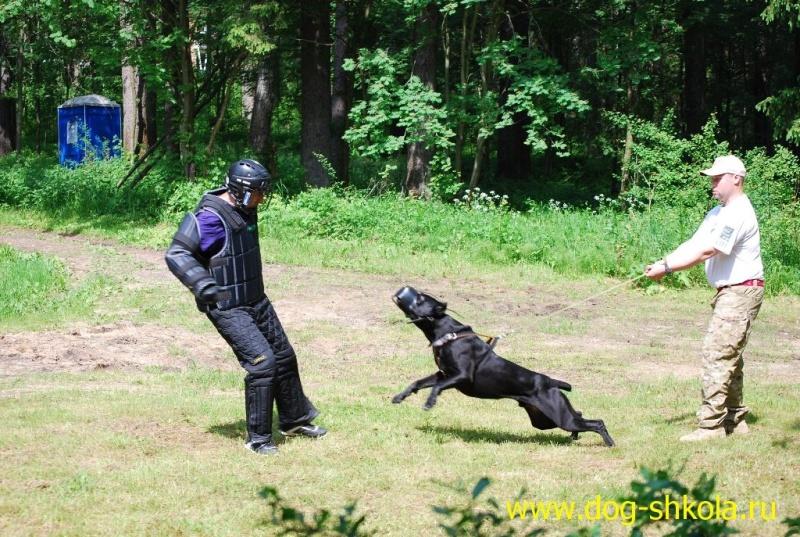 Дрессировка собак для реальной защиты